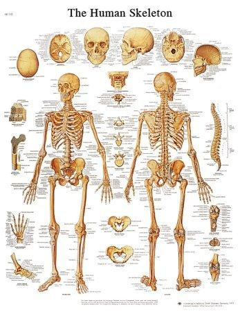 Anatomical Chart 3B Scientific Human Skeleton 12-4620L Each/1