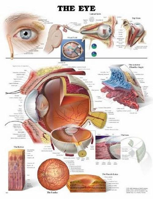 Anatomical Chart Eye 9781587791260 Each/1