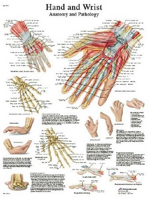 Anatomical Chart Hand and Wrist 12-4609L Each/1